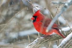 snow.Cardinal
